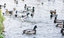 Birds on the pond. A flock of ducks and pigeons by the water. Mi. Gratory birds by lake.r Stock Photos