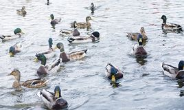 Birds on the pond. A flock of ducks and pigeons by the water. Mi. Gratory birds by lake.r Stock Photography