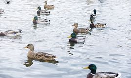 Birds on the pond. A flock of ducks and pigeons by the water. Mi. Gratory birds by lake.r Royalty Free Stock Images