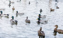 Birds on the pond. A flock of ducks and pigeons by the water. Mi. Gratory birds by lake.r Stock Images