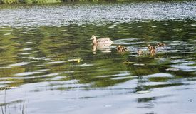 Birds on the pond. A flock of ducks and pigeons by the water. Mi. Gratory birds by lake.r Stock Image