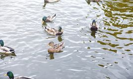 Birds on the pond. A flock of ducks and pigeons by the water. Mi. Gratory birds by lake.r Royalty Free Stock Photography