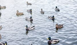 Birds on the pond. A flock of ducks and pigeons by the water. Mi. Gratory birds by lake.r Stock Photo