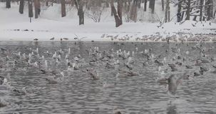 Birds in a pond in a winter park.  stock footage