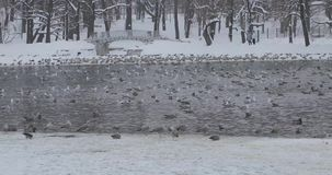 Birds in a pond in a winter park.  stock video footage