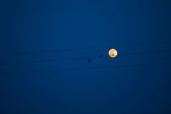 Birds on a power line, profiled against sky and rising full moon Royalty Free Stock Image