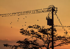 Birds on a power pole. A flock of birds on a power pole on a sunny summer evening Stock Photo