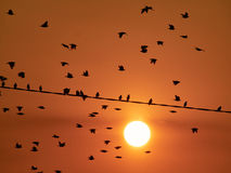 Birds on a power pole. A flock of birds on a power pole on a sunny summer evening Stock Image