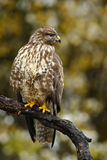 Birds of pray Common Buzzard, Buteo buteo, sitting on the branch with blurred autumn yellow forest in background. Birds of pray Common Buzzard, Buteo buteo Stock Image