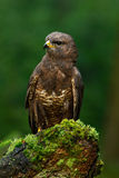 Birds of pray Common Buzzard (Buteo buteo) sitting on moss tree stump with blurred green forest in background. Birds of pray Common Buzzard, Buteo buteo Royalty Free Stock Image