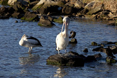 Pelican Preening Royalty Free Stock Image