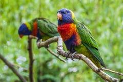 Pair of Rainbow Lorikeets Royalty Free Stock Image