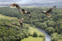 Birds of Prey. Red Kites circle above the valley looking for their prey Stock Photography