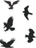 Birds of Prey. Silhouettes of birds of prey in flight Stock Photo
