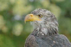 Birds of Prey - Bald Eagle - Haliaeetus leucocephalus. Close up portrait of a juvenile Bald Eagle (Haliaeetus leucocephalus stock image