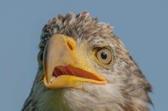 Birds of Prey - Bald Eagle - Haliaeetus leucocephalus. Close up portrait of a juvenile Bald Eagle (Haliaeetus leucocephalus Royalty Free Stock Photography