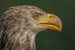 Birds of Prey - Bald Eagle - Haliaeetus leucocephalus Royalty Free Stock Photography