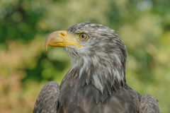Birds of Prey - Bald Eagle - Haliaeetus leucocephalus. Close up portrait of a juvenile Bald Eagle (Haliaeetus leucocephalus Stock Images