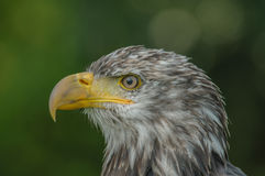 Birds of Prey - Bald Eagle - Haliaeetus leucocephalus Royalty Free Stock Photo