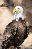 Birds of Prey - Bald Eagle Stock Images
