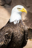 Birds of Prey - Bald Eagle royalty free stock photography