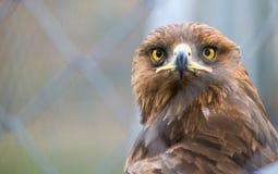 Birds of prey - Captive Aquila pomarina. Lesser Spotted Eagle Royalty Free Stock Photography