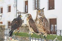 Birds of prey, so close. Stock Photography