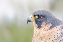 Birds of prey Stock Image