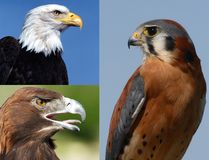 Birds of Prey Collage Royalty Free Stock Image