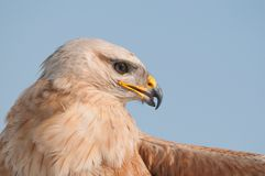 Birds of prey - Common Buzzard Buteo buteo in the sky. Close Up.  Stock Image