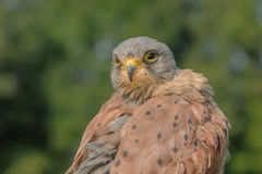 Birds of Prey - Common Kestrel - Falco Tinnunculus Stock Photo