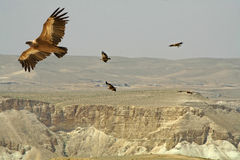 Birds of prey  desert Royalty Free Stock Photo