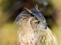 Birds of prey Eurasian owl looking trough the woods Royalty Free Stock Image