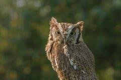 Birds of Prey - Eurasian Scops Owl - Otus Coliba Stock Photos