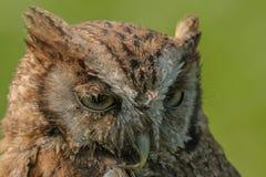 Birds of Prey - Eurasian Scops Owl - Otus Coliba Stock Photo