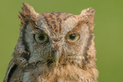 Birds of Prey - Eurasian Scops Owl - Otus Coliba Stock Image