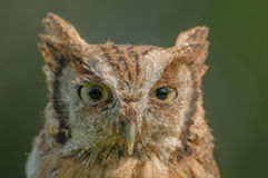 Birds of Prey - Eurasian Scops Owl - Otus Coliba Stock Photography