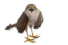 Birds of prey - Eurasian Sparrowhawk Accipiter nisus female. Isolated on white royalty free stock photography