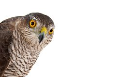 Birds of prey - Eurasian Sparrowhawk Accipiter nisus female. Isolated on white. Close-up portrait royalty free stock photo