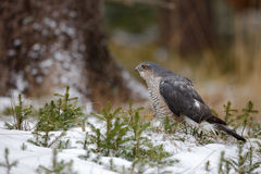 Birds of prey Eurasian sparrowhawk, Accipiter nisus, sitting on snow in the forest, tree trunk in background Stock Photos