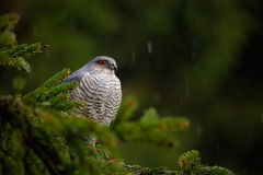 Birds of prey Eurasian sparrowhawk, Accipiter nisus, sitting on spruce tree during heavy rain in the forest. Hawk in the rainy dar Stock Photos