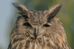Birds of Prey - European Eagle Owl - Bubo bubo Royalty Free Stock Photography