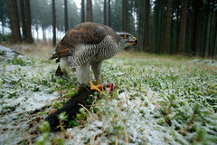 Birds of prey Goshawk with kill catch red squirrel in the forest with winter snow - photo with wide angle lens. Birds of prey Goshawk with kill catch red Royalty Free Stock Photo