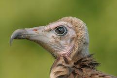 Birds of Prey - Hooded Vulture - Necrosyrtes monachus Stock Photography