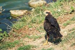 Birds of prey - Marsh Harrier Circus aeruginosus in natural habitats.  Royalty Free Stock Photography