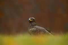 Birds of prey on the meadow with autumn forest in the background. Steppe Eagle, Aquila nipalensis, sitting in the grass on meadow, Stock Image