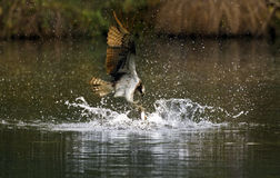 Birds of Prey - Osprey fishing Stock Photo