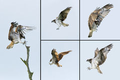 Birds of Prey - Osprey Stock Photography
