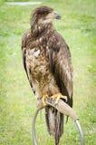 Birds of prey Stock Images