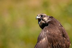 Birds of prey - Saker Falcon Falco cherrug. Close-up portrait.  royalty free stock image